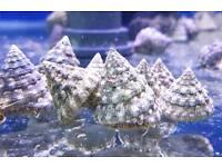turbo snails marine aquarium cuc
