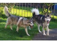 Alaskan Malamute Wolf Dog Pups