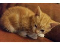 Male ginger kitten free to good home