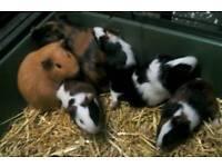 Guinea pig (boars)