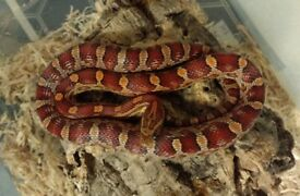 10 months old female corn snake for sale