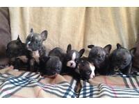 French Bulldog Puppies 3 girls left