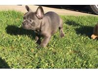 Kennel Club Registered Female Blue French Bulldog