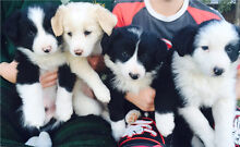 Purebred Border Collie puppies Balaklava Wakefield Area Preview
