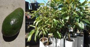 Grafted Avocado trees, Bacon, Feurte, Hass, Sharwill and Shepard West Ballina Ballina Area Preview