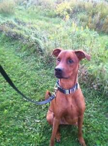 "Young Male Dog - Doberman Pinscher-Greyhound: ""York"""