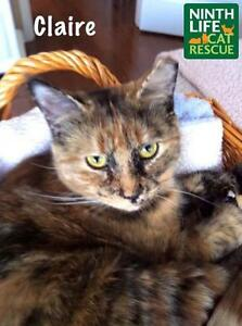"""Adult Female Cat - Domestic Short Hair: """"Claire"""""""