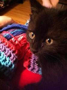 "Baby Male Cat - Domestic Short Hair (Black): ""Rascal"""