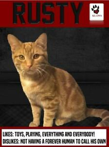 "Young Male Cat - Domestic Short Hair: ""Rusty"""