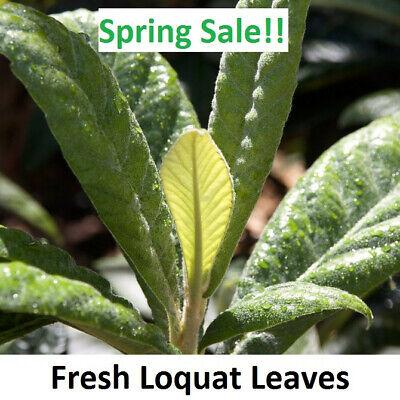 10+ Freshly Hand Picked Large Organic Healthy Loquat Tea Leaves Herbal Pi Pa Yeh Large Leaf Tea