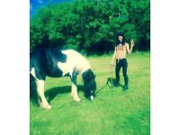 13.2hh cob mare 5years very sweet project