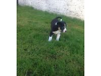 Border Collie puppies. SOLD