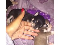 Black & Tan Chihuahua puppy