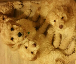 Goldendoodle pups Ready to go! Weekend sale for $1000.