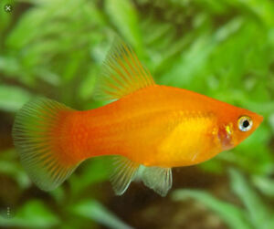 Platy's for rehoming **Free**