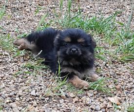 Pomeranian x yorkie pups