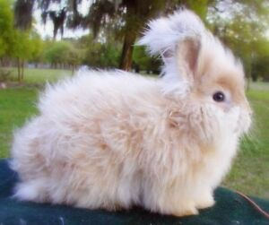 PURE BREED ANGORA FEMALE BUNNY RABBIT TO GOOD HOME