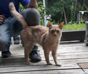 Orange Male Long Haired Tabby  Age 3-5 years