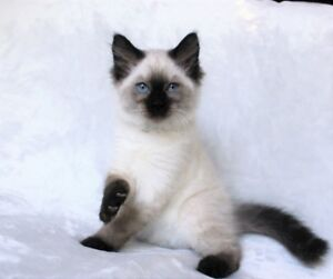 Seal point Ragdoll kittens are available for adoption