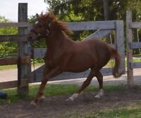Roping/Ranch prospect Gelding. Very catty and cowy