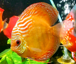Large F1 wild brown discus only $100