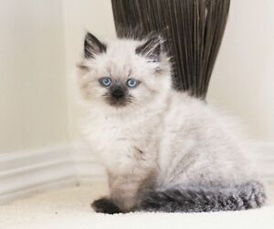 Color pointed Persian kittens for adoption