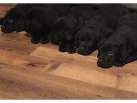 *7 beautiful Labrador puppies*