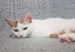 AK1504 : Voldemort - CAT FOR ADOPTION - Vet Work Included Beldon Joondalup Area Preview