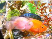 """Cream Colour Parrot Cichlid for sale 2-3"""" live tropical fish"""