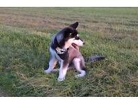 'Happy Dogs' Dog Walking Cambridge