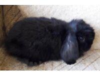 Mini lops rabbits for sale