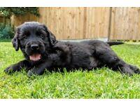 Flatcoat x Golden Retriever Puppies For Sale