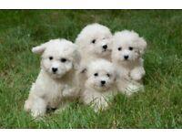 Adorable bichon puppies