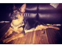7 month old German Shepard for sale