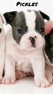 Price reduced!!!! French Bulldog Puppies