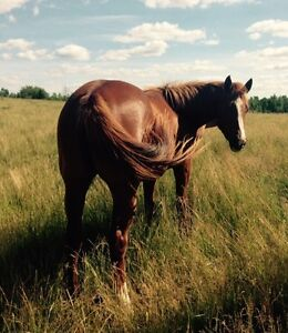 LS STREAKIN 4 YR AQHA FILLY  -SIRE IS AAAT GR 2 STAKES SO