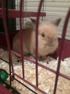 5 year old Lionhead Sandy Colored Needs a New Home