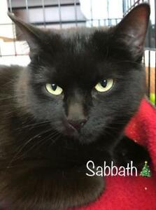 "Adult Female Cat - Domestic Short Hair (Black): ""Sabbath"""