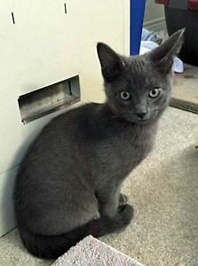 """Young Male Cat - Domestic Short Hair-gray: """"Edwin"""""""