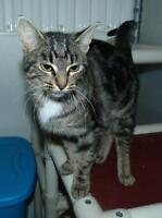 Adult Female  - Domestic Short Hair - brown-Tabby - Brown