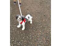 Shitzu puppy 6 months female