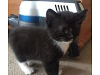 Black and White Kitten - Ready Soon