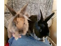 3 Rabbits for sale £25.00 each