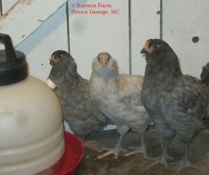 Ameraucana chicks