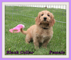 Goldendoodle | Kijiji - Buy, Sell & Save with Canada's #1