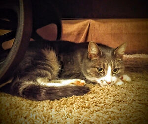 Beautiful,affectionate female adult cat needs a new home!
