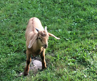 Nice Buck Goat for sale