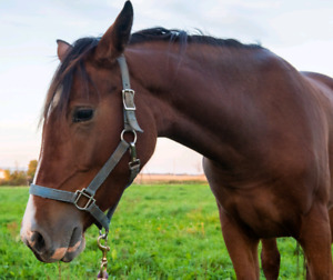 Thoroughbred/ Clydesdale 2 Year Old Filly