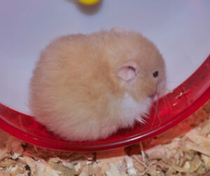 Long-Haired Syrian Hamster Pup for Adoption, Female