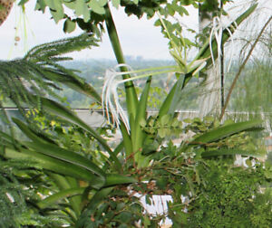 Indoor plant: Hymenocallis, Spider Lily - bulbs